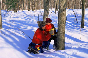 Drilling hole in Sugar maple bark for maple sap collection, Vermont, USA  -  Lynn M Stone