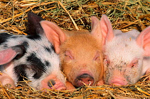 Piglets sleeping {Sus scrofa domestica} USA Not available for ringtone/wallpaper use.  -  Lynn M Stone