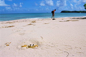 Land crab burrowing in sand on beach {Ocypode quadrata} Guadeloupe 2000.  -  Jean E. Roche