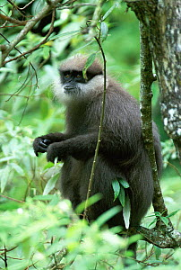 Montane purple faced langur {Presbytis senex monticola} dominant male. Sri Lanka. Endemic endangered species.  -  Elio Della Ferrera