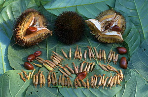 Flowers and fruit of {Durio sp} Durian Flowers are food for Lion tailed macaque. W Ghats, India  -  Elio Della Ferrera