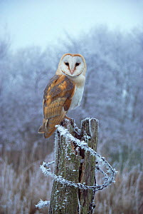 Barn owl on post in frost {Tyto alba} UK. - Martin H Smith