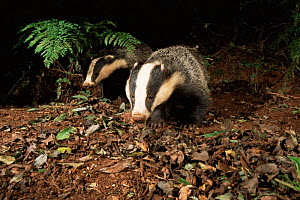 Badgers foraging in woodland {Meles meles} Devon, UK - Kevin J Keatley