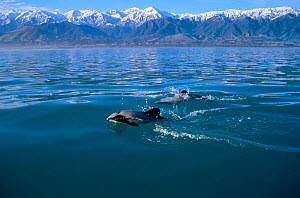 Hectors dolphins at surface {Cephalorhynchus hectori} Kaikoura, New Zealand Pacific  -  Todd Pusser