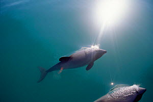 Hector's dolphins below surface {Cephalorhynchus hectori} Kaikoura, New Zealand Pacific  -  Todd Pusser