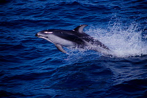Pacific white sided dolphin {Lagenorhynchus obliquidens} Monterey Bay, California Pacific  -  Todd Pusser