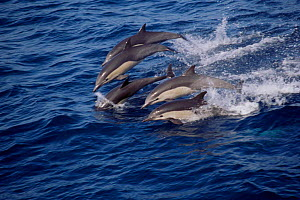 Short-beaked common dolphins group leaping {Delphinus delphis} Monterey Bay California - Todd Pusser