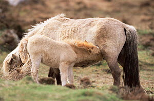 Eriskay pony with foal suckling {Equus caballus} South Uist, Scotland, UK  -  Pete Cairns