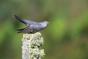 European cuckoo male in threat posture {Cuculus canorus} South Uist, Scotland  -  Pete Cairns