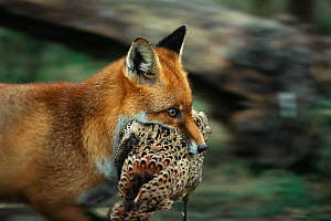 Red fox carries dead pheasant in mouth {Vulpes vulpes} Devon, UK - Colin Seddon