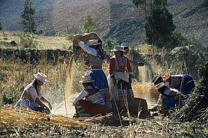 Women working on Quinoa harvest, Colca valley, Peru  -  Karen Bass