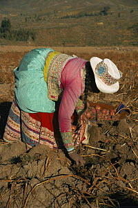 Potato harvest, Colca valley, Peru  -  Karen Bass