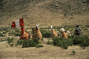 Domestic Llama race {Lama glama} Callalli, Colca valley, Peru  -  Karen Bass