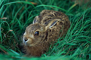 Young European hare in grass {Lepus europaeus} UK - Colin Seddon