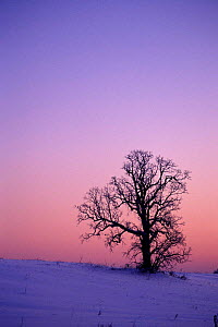 Oak tree at dawn in winter, Wisconsin, USA - Larry Michael
