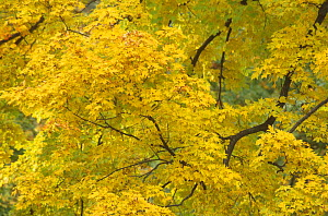 Sugar maple tree branchess and leaves {Acer saccharum} Michigan, USA  -  Larry Michael