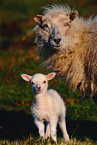 Crossbred ewe and lamb - domestic sheep {Ovis aries} Shetland Is, Scotland, UK - Colin Seddon