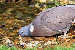 Wood pigeon drinking {Columba palumbus} Norfolk, UK  -  Terry Andrewartha