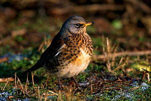 Fieldfare feeding on fallen crab apples {Turdus pilaris} UK  -  Terry Andrewartha