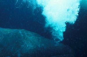 Bowhead whale releasing breathing out underwater {Balaena mysticetus} Arctic - Martha Holmes