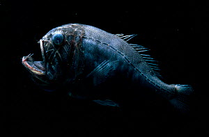 Fangtooth deep sea fish, Atlantic ocean  -  David Shale