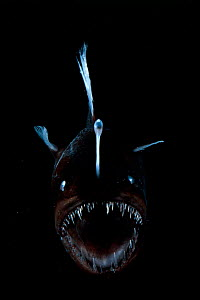 Deep sea Anglerfish {Melanocoetus sp} female with lure projecting from head to attract prey. Atlantic ocean  -  David Shale