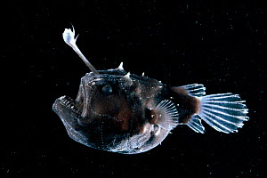 Deep sea Anglerfish {Himantolophus sp} female with lure projecting from head to attract prey, Atlantic ocean. Anglerfish have small poorly developed eyes but detect movement and prey through a well de... - David Shale