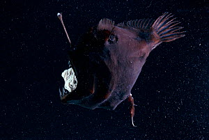 Deep sea Anglerfish female with parasitic male attached to belly - stomach visible through mouth due to pressure change at surface where photographed. Male is x10 smaller than female and lives permane...  -  David Shale