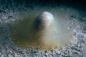Deep sea Benthic polychaete on seabed - has thousands of sticky tentacles to which food particles ahdere. Gulf of Mexico, Atlantic Ocean  -  David Shale