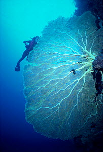 Giant seafan coral and diver {Subergorgia mollis} on reef Palau Is, Micronesia Model released. - Jeff Rotman
