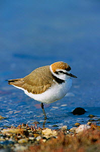 Kentish plover male {Charadrius alexandrinus} Lesbos, Greece  -  Paul Hobson