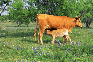 Domestic Texas longhorn cow suckling calf {Bos taurus}, Texas Hill Country, USA  -  Lynn M Stone
