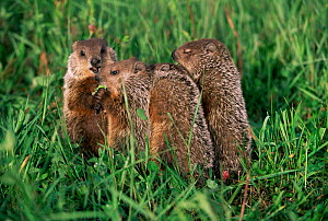 Woodchuck family in grass {Marmota monax} Minnesota, USA  -  Lynn M Stone