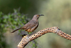 Curve billed thrasher {Toxostoma curvirostra} on cholla cactus  Green valley, Arizona, USA  -  Tom Vezo
