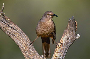 Curve billed thrasher {Toxostoma curvirostra} Green valley, Arizona, USA, North America  -  Tom Vezo