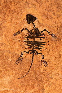 Fossil of Snapping turtle juvenile {Chelydridae} Eocene period, Wyoming, USA - John Cancalosi