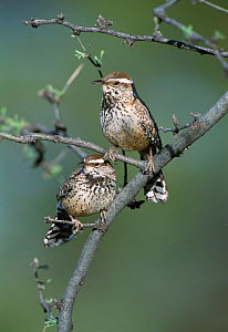Cactus wren pair {Campylorhynchus brunneicapillus}Green valley, Arizona, USA  -  Tom Vezo
