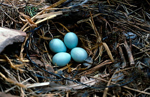 Spotless starling eggs in nest {Turdus unicolor} Spain  -  Jose Luis GOMEZ de FRANCISCO