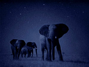 African elephant herd {Loxodonta africana} at night, Masai Mara. Starlight image intensifier camera image taken with no artificial light. - Martin Dohrn