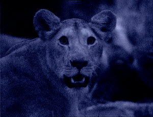 Lioness at night with dilated pupils, Kenya. Starlight image intensifier camera image taken with no artificial light.  -  Martin Dohrn