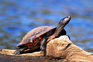 Red bellied turtle male sunning {Pseudemys rubriventris} New Jersey, USA  -  Doug Wechsler