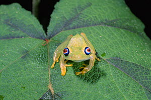 Tree frog {Boophis sp} Perinet Special Reserve, Madagascar  -  Pete Oxford