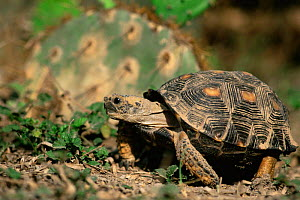 Texas tortoise {Gopherus berlandieri} Texas, USA  -  David Welling
