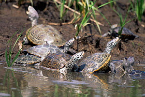 Diamondback terrapins at water's edge. New Jersey, USA {Malaclemmys terrapin}  -  Doug Wechsler