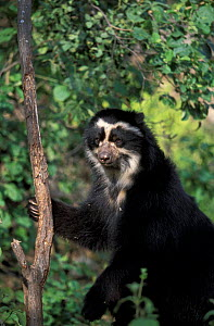 Spectacled bear climbing tree {Tremarctos ornatus} Peru, South America - Francois Savigny