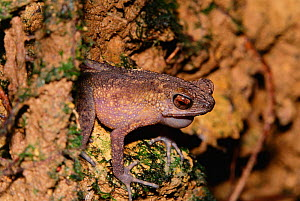 Long fingered slender toad {Ansonia longidigita} male vocalising. Borneo , Bentuang-karimun, Indonesia  -  Doug Wechsler