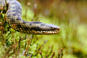 Adder female {Vipera berus} Peak District NP, UK Derbyshire - Geoff Scott-Simpson