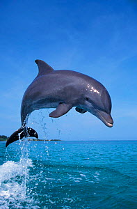 Bottlenose dolphin leaping {Tursiops truncatus} Caribbean. NOT FOR SALE IN THE USA  -  Brandon Cole