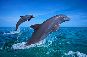Bottlenose dolphins leaping {Tursiops truncatus} Caribbean. NOT FOR SALE IN THE USA  -  Brandon Cole