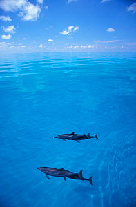 Atlantic spotted dolphins at surface {Stenella frontalis} Bahamas. NOT FOR SALE IN THE USA  -  Brandon Cole